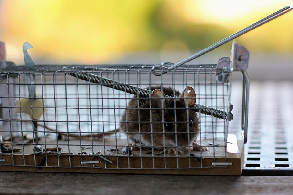 (Maison) Répulsif à rats
